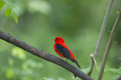 Scarlet tanager: Piranga olivacea stock photography