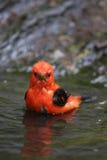 Scarlet Tanager (Piranga olivacea). Bathing Stock Photography