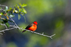 Scarlet Tanager, Piranga olivacea Stock Images