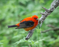 Scarlet Tanager Royalty Free Stock Images