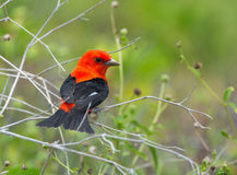 Scarlet Tanager. A striking male Scarlet Tanager forages for food in the sparse vegetation of an island in the Gulf of Mexico Stock Photography