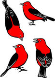 Scarlet Tanagers Royalty Free Stock Image