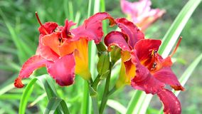 Scarlet terry daylily flower in flowerbed. Scarlet terry daylily flower in the flowerbed stock video footage