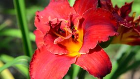 Scarlet terry daylily flower in flowerbed. Scarlet terry daylily flower in the flowerbed stock video