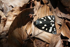 Scarlet Tiger Moth Stock Photos