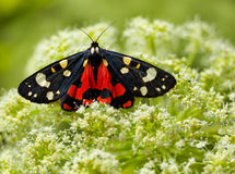 Scarlet Tiger moth Stock Images