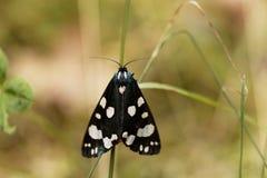 Scarlet tiger moth Callimorpha dominula Stock Photography