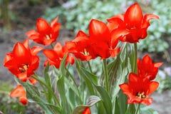 Scarlet Tulips in the Garden Royalty Free Stock Photos