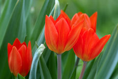 Scarlet tulips in grass Stock Photos