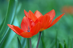 Scarlet tulips Stock Images