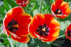 Scarlet tulips view from the top Stock Photography