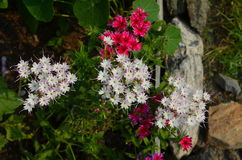 Scarlet and white star Phlox. Scarlet and white with star shaped flowers Stock Image