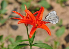Scarlet wild lilies with a butterfly Royalty Free Stock Photo