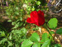 Scarlet young rose. Grown in my garden Royalty Free Stock Photography