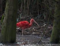 Scarleti ibis royalty free stock photo