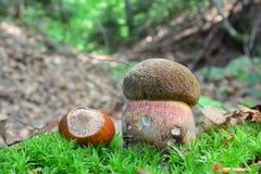 Scarletina bolete mushroom and hazelnut Royalty Free Stock Images