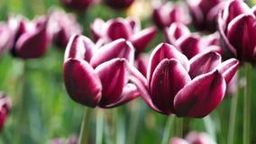 Scarlett bicolor vermelho às flores híbridas Fontainebleau da tulipa branca no vento, 4K video estoque