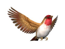 Scarlett finch bird - 3D render. Scarlett finch bird flying with open wings in white background Royalty Free Stock Images