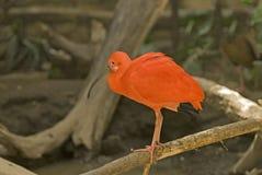 Scarlett ibis. Portrait of a scarlet ibis in swamp Stock Image