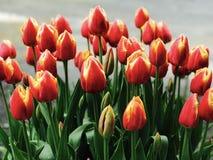 Scarpa di legno Tulip Festival dei tulipani gialli ed arancio immagini stock libere da diritti