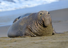 Elephant seal, male adult beachmaster, big sur, california royalty free stock images