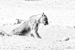 Scarred African Lioness, Panthera leo, with visible wounds. Monochrome. A scarred African Lioness, Panthera leo, with visible wounds, at a waterhole in Northern stock images