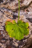 Scarred autumn leaf isolated against a rock. A single frost damaged autumn leaf isolated against an out of focus rock background image with copy space stock images