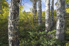Scarred bark and fall Aspen trees color. The scarred bark of the Poplar Aspen Populus tremuloides reveals aging trees damaged by wildlife antler rubbing and royalty free stock images