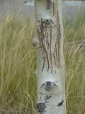 Scarred Face on Birch Trunk. Birch trunk, bear scratches between two knot holes that look like eyes surrounded by tall grass of tan and green stock photos