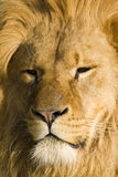 Scarred Lion Royalty Free Stock Photos
