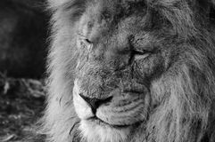 Scarred Lion in Black and White. Scar-faced Lion in Black and White at Whipsnade Zoo stock image