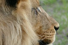 Scarred lion Royalty Free Stock Images