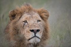 Scarred lion portrait. A horizontal, close up, colour image of a scarred lion, Panthera leo, staring with avid interest past the camera in the Greater Kruger royalty free stock image