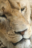 Scarred Lioness Face Royalty Free Stock Images