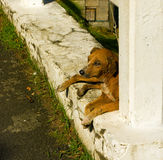 A scarred male dog in the west indies. An old dog tied to a wall in the windward islands Stock Photo