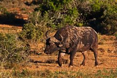 Scarred old bull buffalo walking in early morning. Large powerful bull buffalo walking through bush in the early morning light, Addo Elephant Park, South Africa stock photography