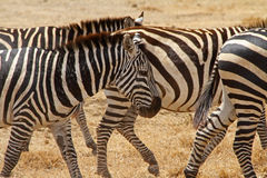 Scarred Old Zebra. A beat up and scarred old zebra walks with the rest of the herd stock photography