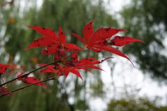Scarred Red Maple Leaves. Red maple leaves with black scars in fall stock image