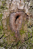 Scarred tree. Texture of surface of wood stock photo