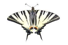 Scarse swallowtail (podalirius Iphiclides) που απομονώνεται στο λευκό Στοκ Φωτογραφίες