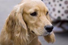 Scarso cane perso Fotografia Stock Libera da Diritti