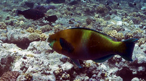 Scarus ferrugineus. Or Rusty Parrotfish in the Red Sea Stock Image