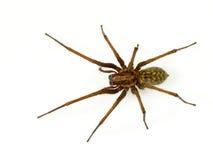 Scary αράχνη Ιστού χοανών Στοκ Φωτογραφίες