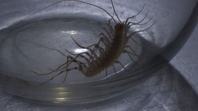Scary arthropod insect attempting to climb out of slippy glass jar, entomophobia. Stock footage stock footage