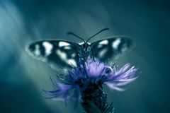 Nsect butterfly white and black close up on a flower. royalty free stock images