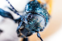 Scary beetle Royalty Free Stock Photo