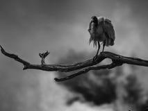 Scary bird. Scary White Ibis on top of the tree royalty free stock photos