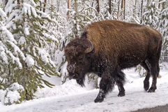 Scary Bison Royalty Free Stock Photos