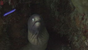 Scary black moray underwater in ocean of wildlife Philippines. stock video footage
