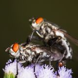 Blow fly,fly,flies ingraft  on flower. Scary Blow fly,fly,flies ingraft be fertile on flower Stock Photo